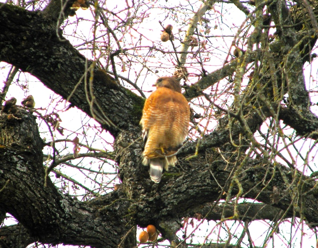 falcon in Anderson, CA park